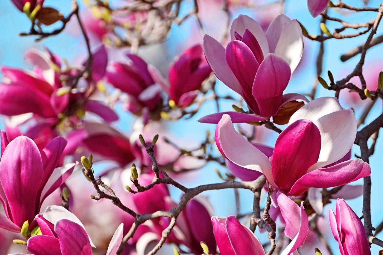 Картинка Цветы Магнолия ветка вблизи цветок ветвь Ветки на ветке Крупным планом