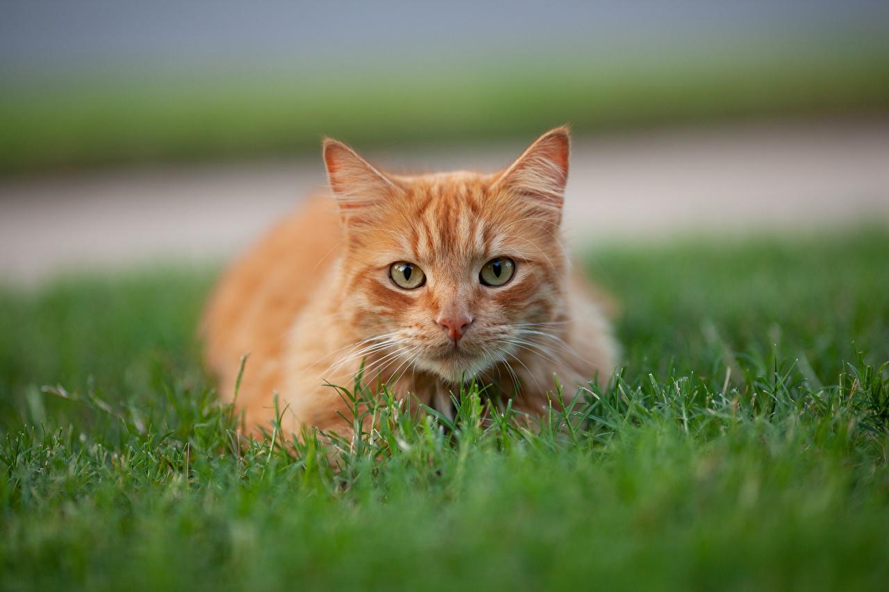 Фотографии кот Размытый фон рыжая траве смотрит животное коты кошка Кошки боке Рыжий рыжие Трава Взгляд смотрят Животные