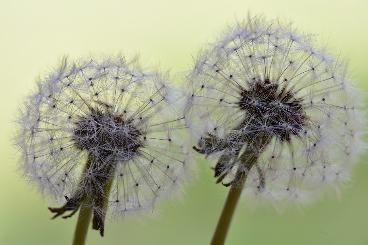 Фотографии вдвоем Цветы Одуванчики вблизи 2 два две Двое цветок Крупным планом