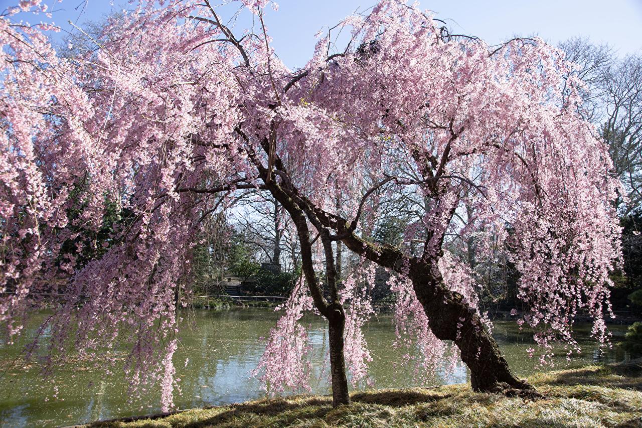 Обои США Brooklyn Botanical Garden Весна Природа Пруд Парки Цветущие деревья штаты весенние