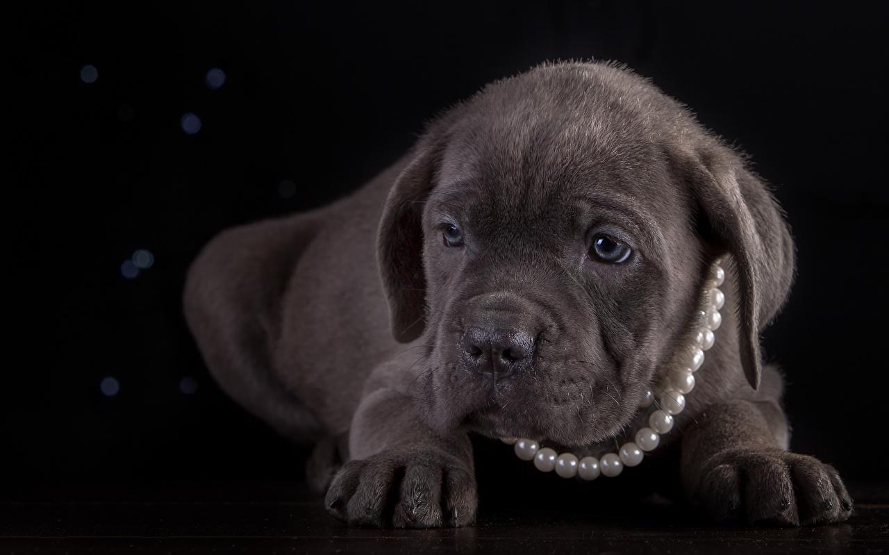 Картинка Щенок Кане корсо Собаки Жемчуг Лапы животное Черный фон щенки щенка щенков собака лап Животные на черном фоне
