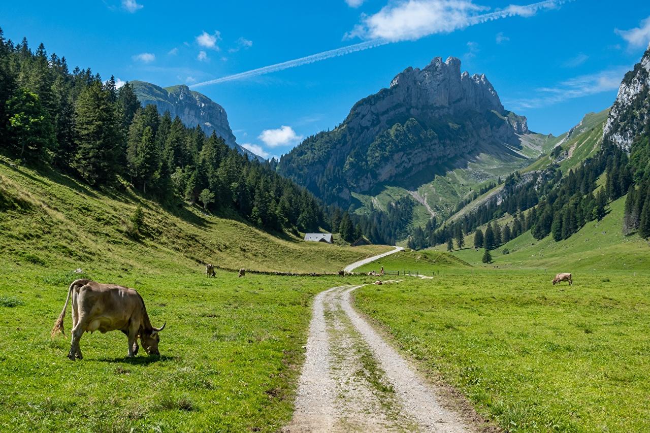 Фотография коровы Швейцария Canton Bern гора Природа Леса Дороги траве Корова Горы лес Трава
