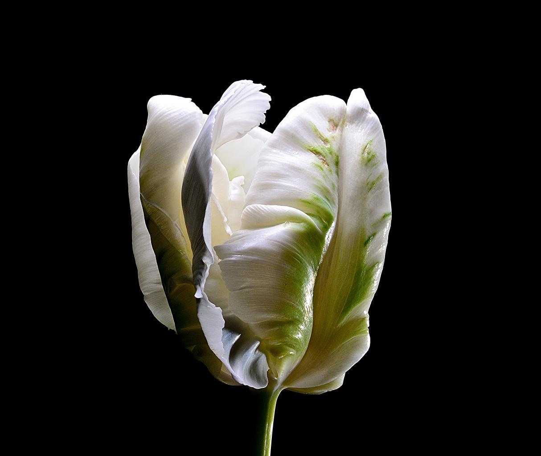 Фотография Белый Тюльпаны Цветы Черный фон Крупным планом белых белые белая тюльпан цветок вблизи на черном фоне