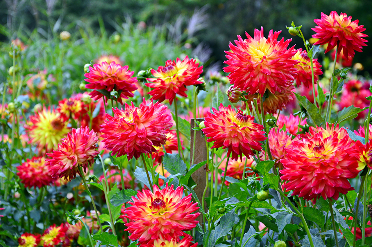 Картинки Красный цветок Георгины Много красная красные красных Цветы