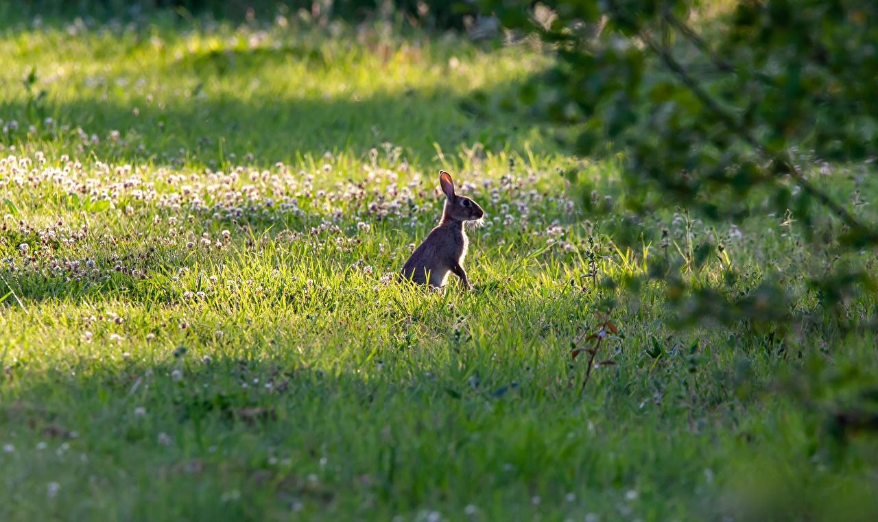 Картинка Зайцы траве Животные Трава животное