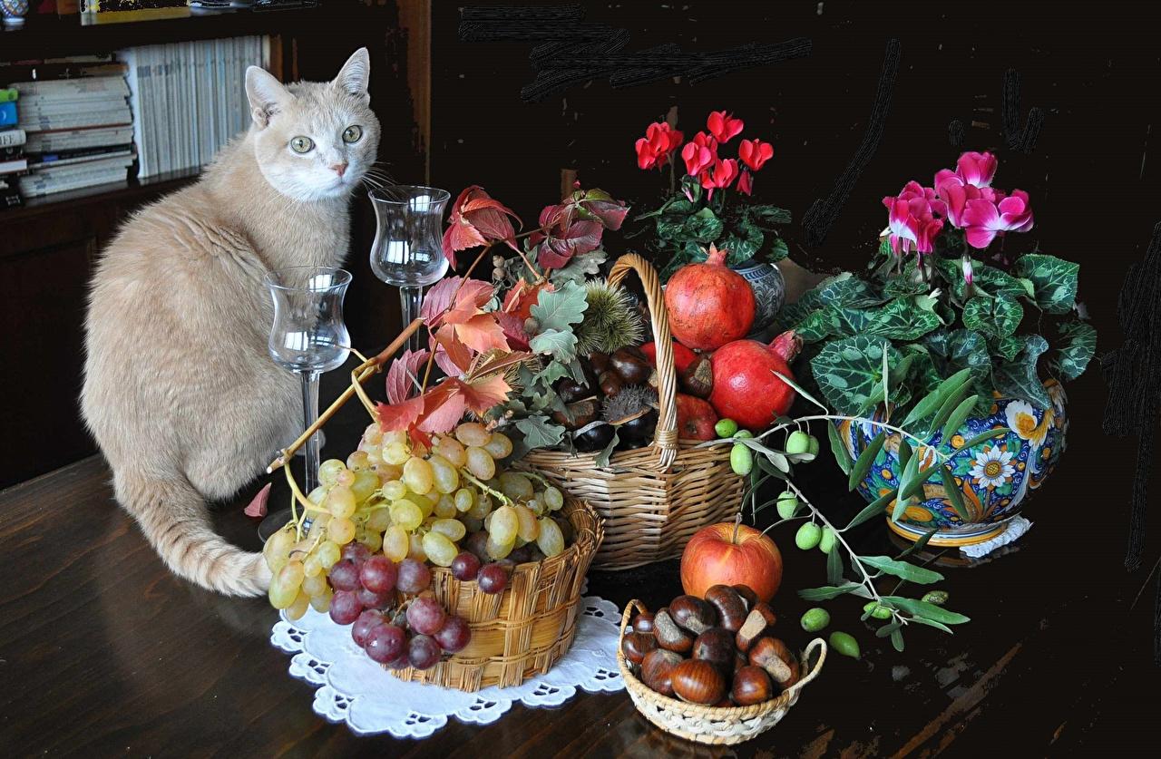 Фото кот Яблоки Гранат Бегония Корзинка Виноград Еда Ваза Бокалы животное Натюрморт коты Кошки кошка корзины Корзина вазе вазы Пища бокал Продукты питания Животные