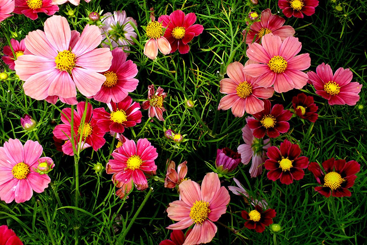 Обои Цветы Космея вблизи Крупным планом