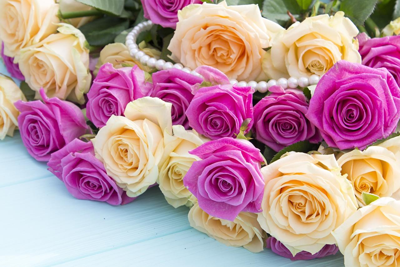 Фотография Розы Цветы Много