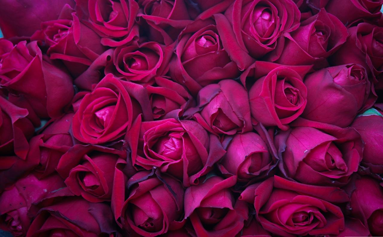 Картинки Текстура Розы бордовая Цветы Бордовый бордовые темно красный цветок
