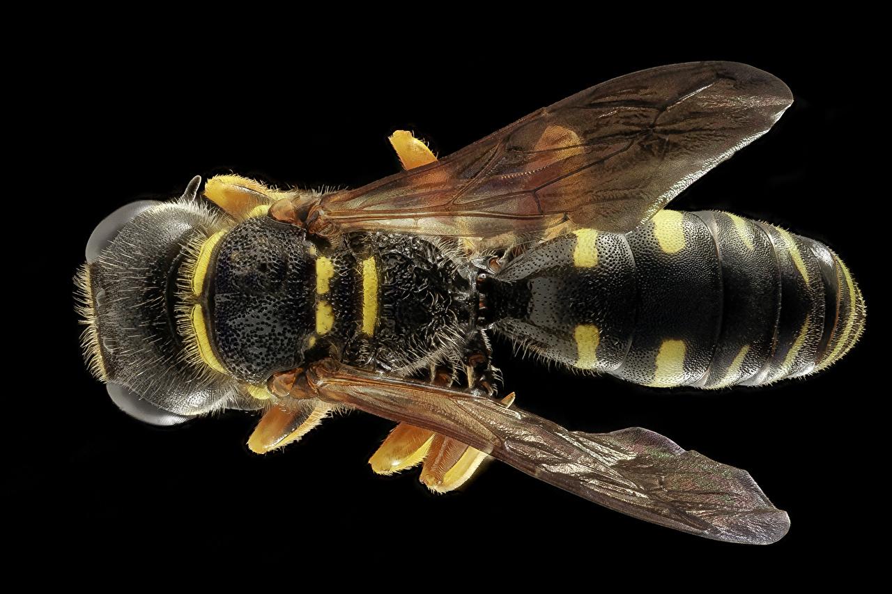 Обои для рабочего стола Животные Черный фон Макро осы вблизи Крылья животное на черном фоне Макросъёмка Оса Крупным планом