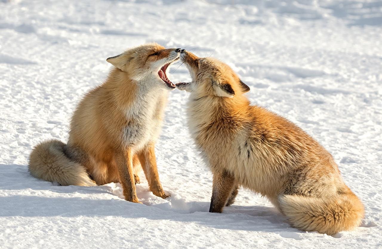 Картинки Лисица забавные 2 Снег Животные Лисы смешной смешная Смешные две два Двое вдвоем снеге снегу снега животное