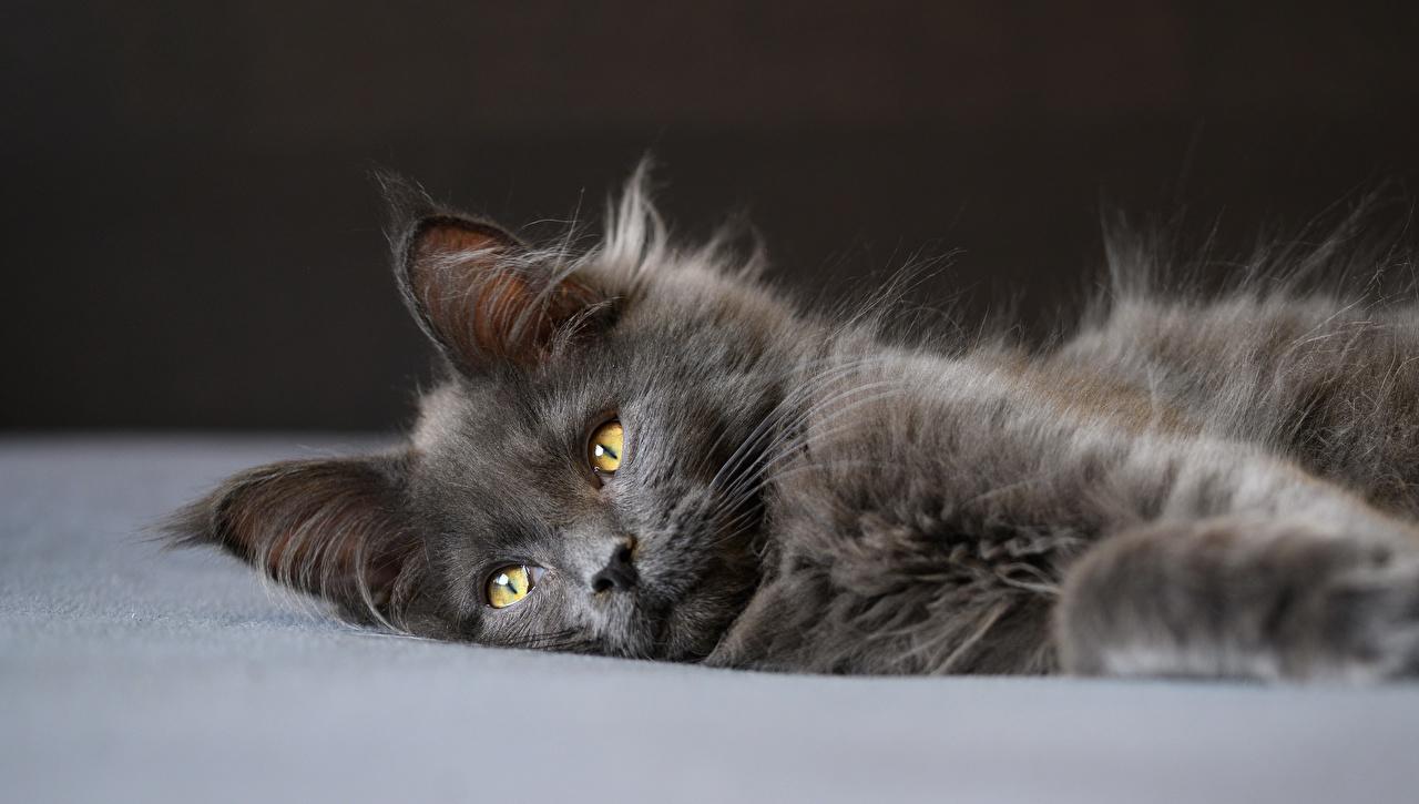 Картинка Мейн-кун коты лежат Серый пушистая смотрит животное кот Кошки кошка лежа Лежит лежачие серая серые Пушистый пушистые Взгляд смотрят Животные