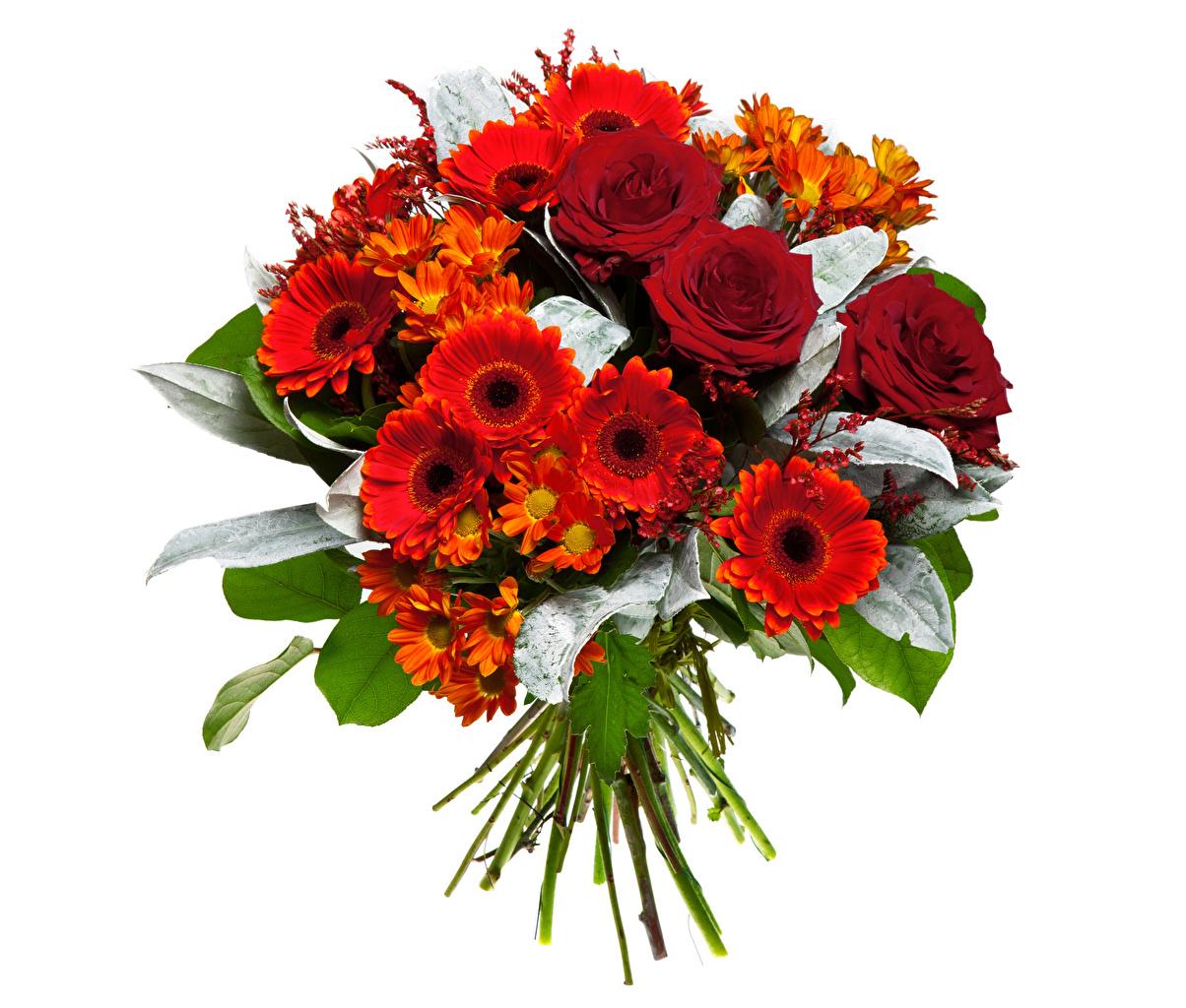 Фотография Букеты Розы гербера красные Цветы Хризантемы белым фоном букет роза Герберы красная Красный красных цветок Белый фон белом фоне