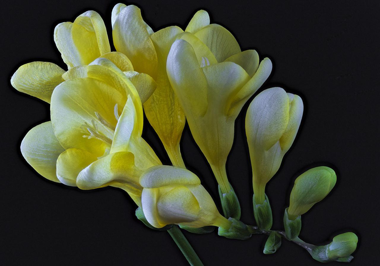 Обои для рабочего стола Желтый Цветы Фрезия вблизи на черном фоне желтых желтые желтая цветок Черный фон Крупным планом