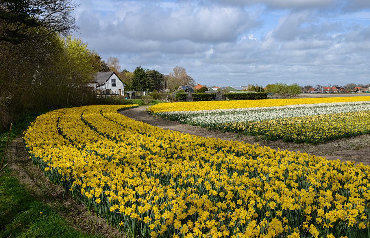 Фото голландия Весна Поля цветок Нарциссы Много Нидерланды весенние Цветы