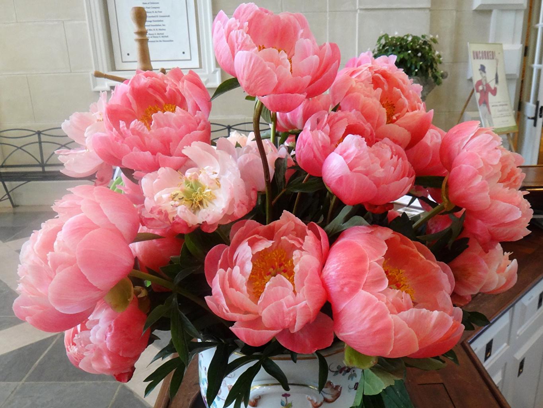 Фотография Coral Charm розовая Пионы Цветы вблизи Розовый розовые розовых пион цветок Крупным планом