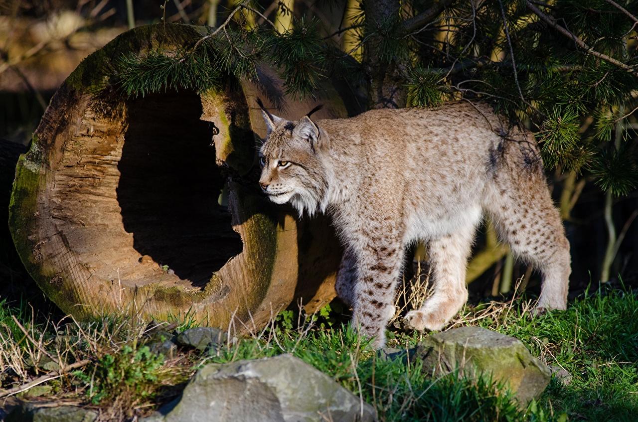 Фотографии рысь Большие кошки траве Животные Рыси Трава животное