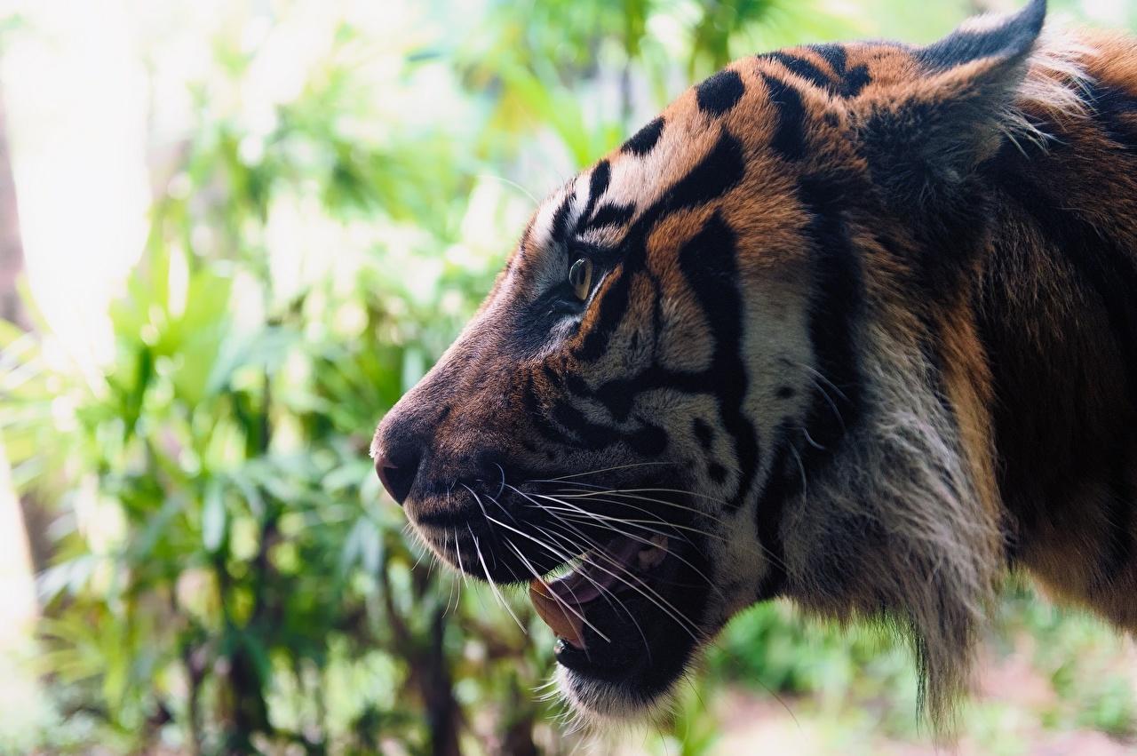 Фотографии Тигры Большие кошки Усы Вибриссы Морда вблизи животное тигр морды Животные Крупным планом