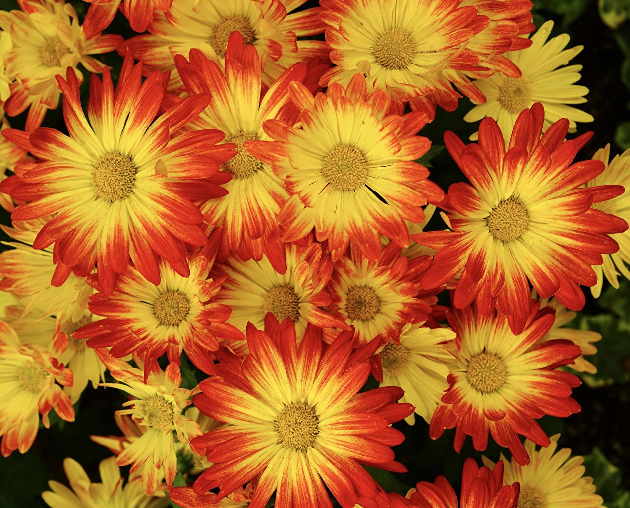 Фотографии Цветы Хризантемы вблизи цветок Крупным планом