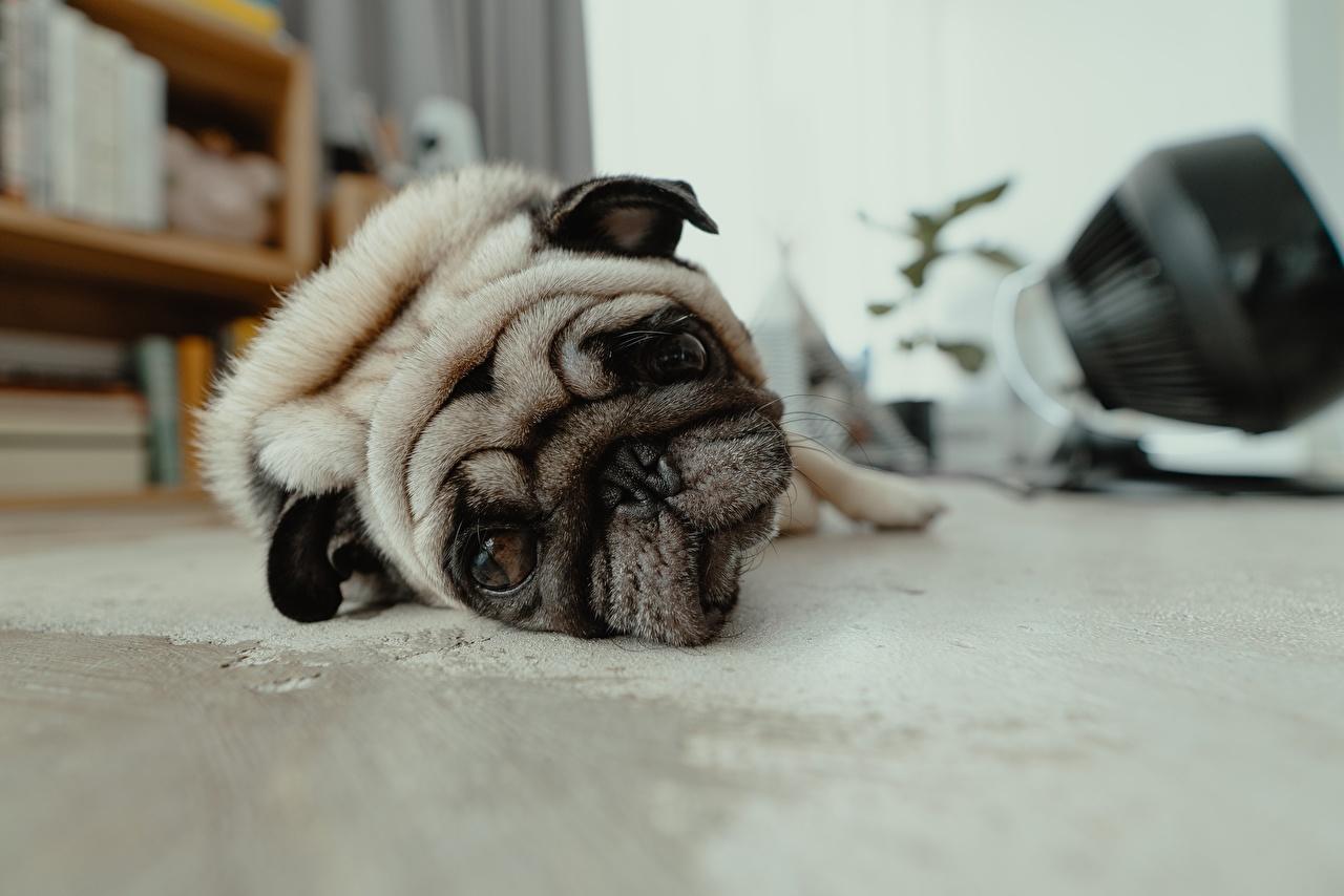 Фото мопсы Собаки Тоска Лежит Морда смотрит Животные Мопс мопса собака Грусть Печаль грустная Грустный печальный печальная лежа лежат лежачие морды Взгляд смотрят животное