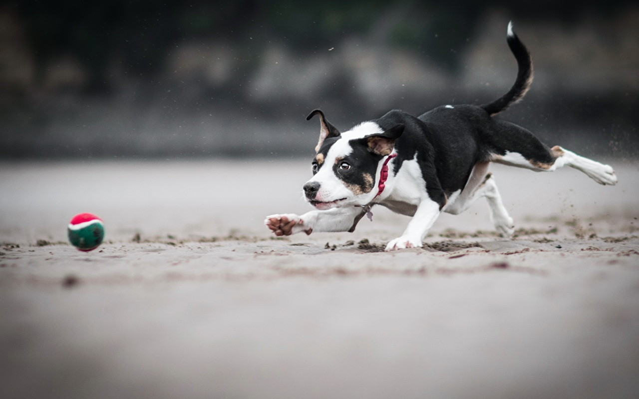 Картинки Собаки бегущий играют песка Мячик Животные собака Бег бежит бегущая Играет Песок песке Мяч животное