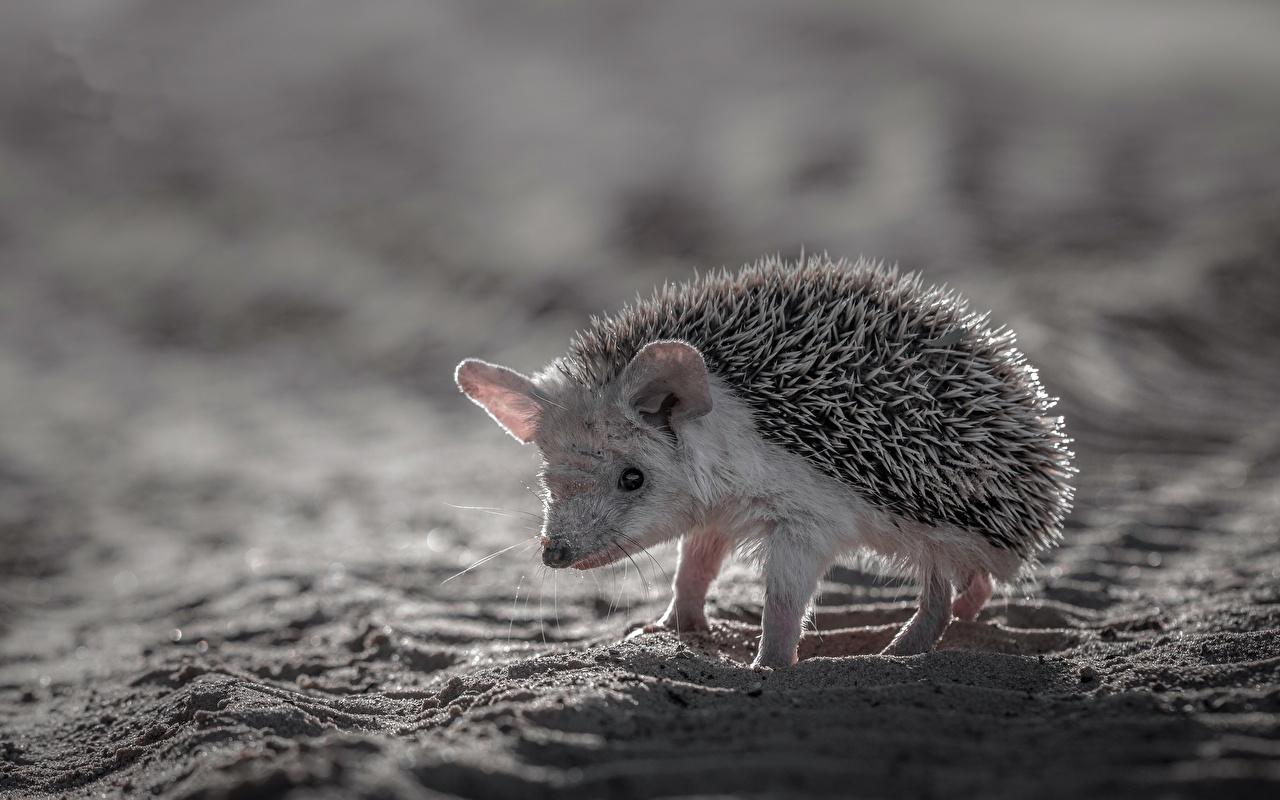 Обои Ежики песка Животные Ежи песке Песок
