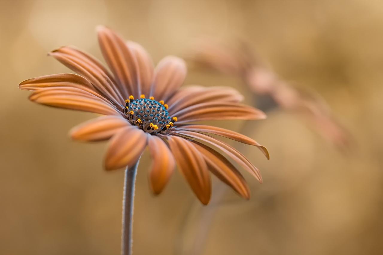 Фотографии Цветы Остеоспермум коричневые Крупным планом цветок коричневая Коричневый вблизи