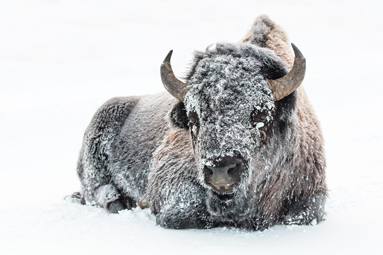Фото бык с рогами Зима Снег животное белом фоне Быки Рога зимние снеге снегу снега Животные Белый фон белым фоном