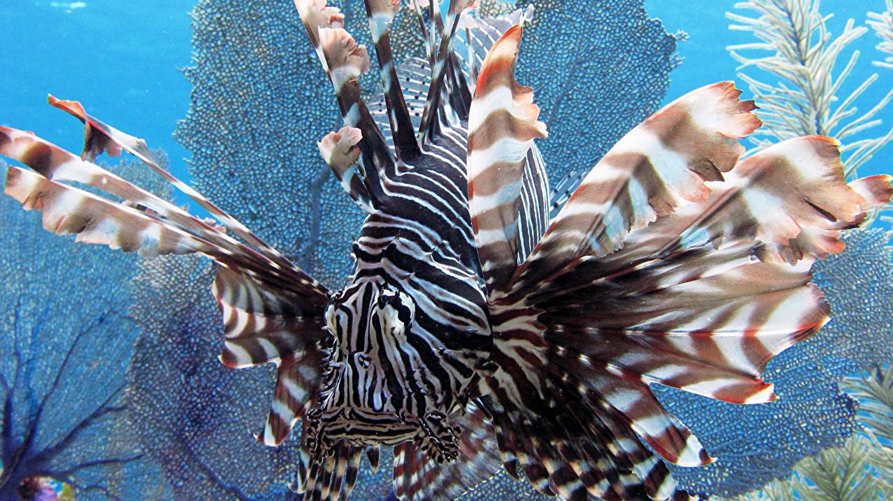 Фотографии крылатка Рыбы Подводный мир полосатая Животные Крупным планом Крылатки Полоски полосатый вблизи животное