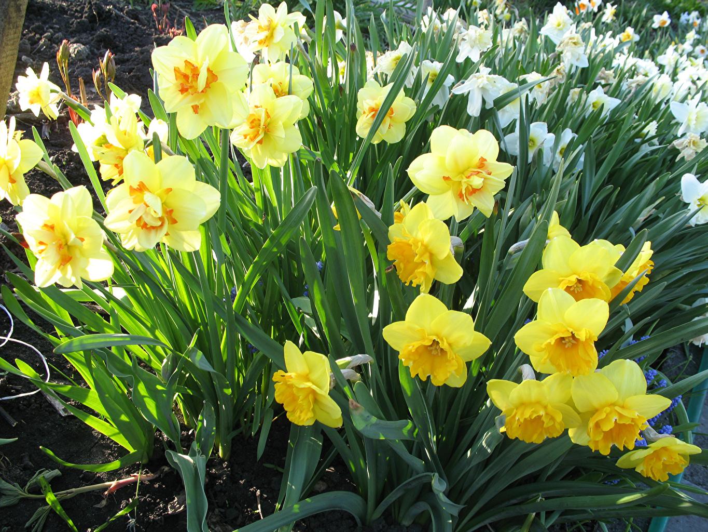 Фотографии желтая Цветы Нарциссы Крупным планом Желтый желтые желтых цветок вблизи