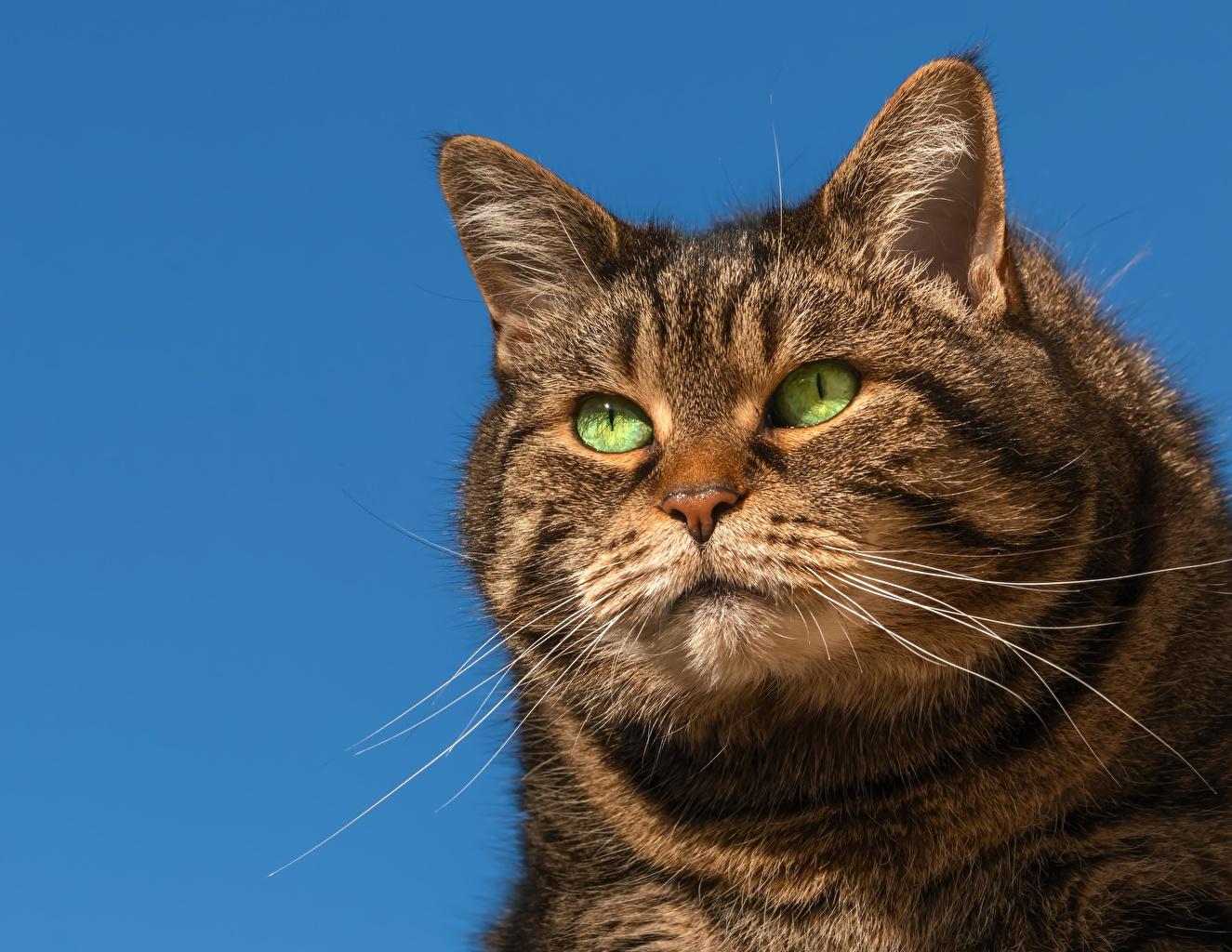 Картинка Коты жирный Усы Вибриссы Морда смотрит Животные Кошки Толстый Взгляд