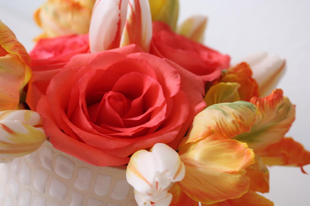 Обои Розы Тюльпаны Цветы Крупным планом вблизи