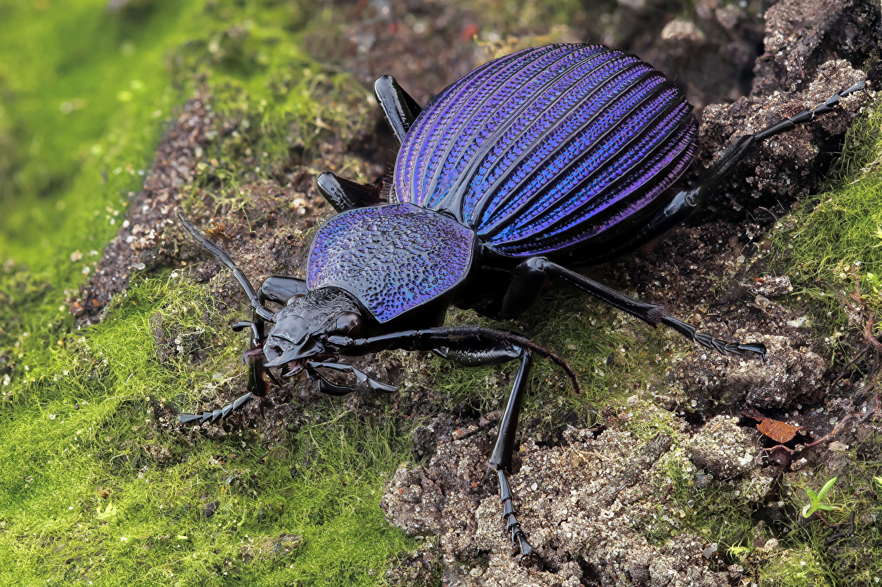Фотография Жуки Насекомые tefflus Животные Крупным планом насекомое вблизи животное