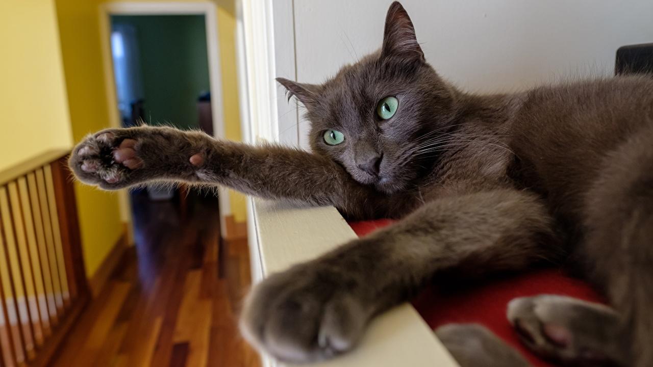 Фото Кошки лежа Серый Лапы животное кот коты кошка Лежит лежат лежачие серая серые лап Животные