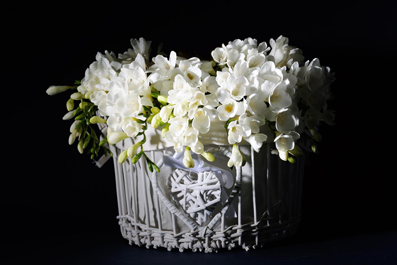 Фотографии белых Фрезия цветок Корзинка Бутон на черном фоне Белый белые белая Цветы корзины Корзина Черный фон