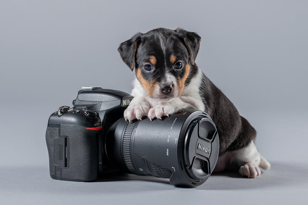 Фото щенки Собаки Фотоаппарат Danish–Swedish Farmdog, nikon животное Серый фон Щенок щенка щенков собака фотокамера Животные сером фоне