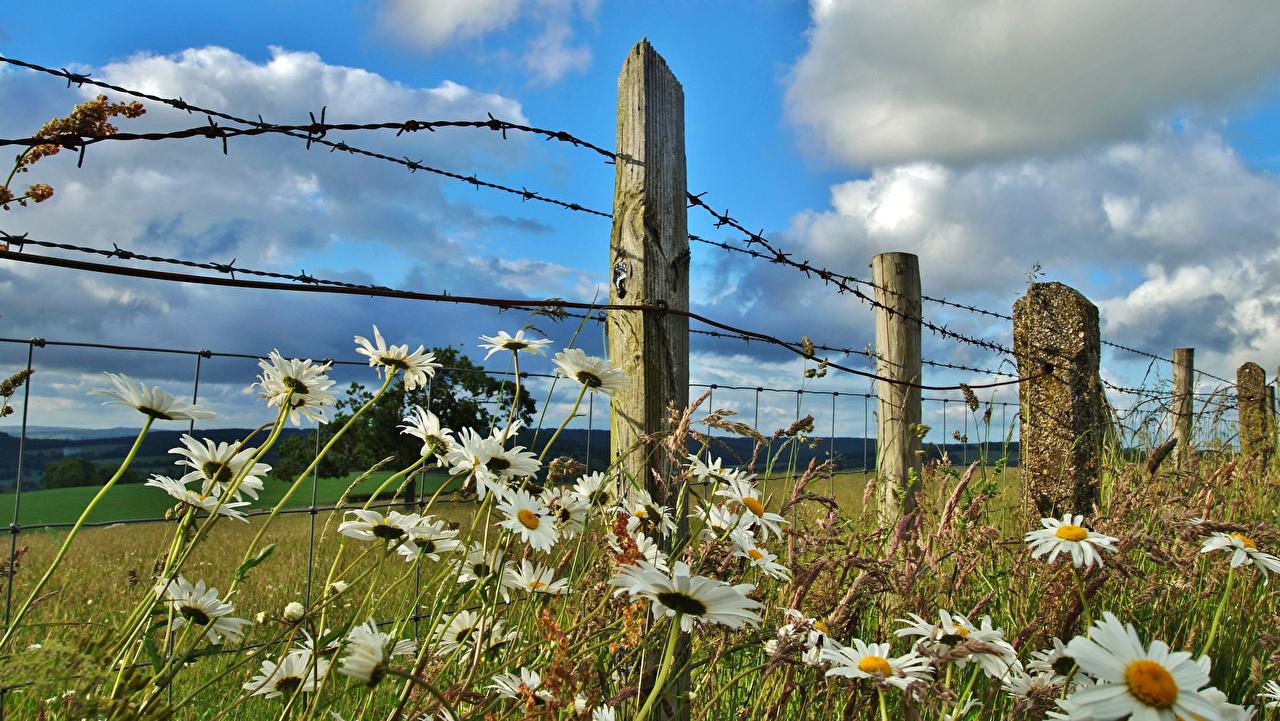 Фотография Колючая проволока Природа Поля забора Ромашки облако Забор ограда ромашка забором Облака облачно