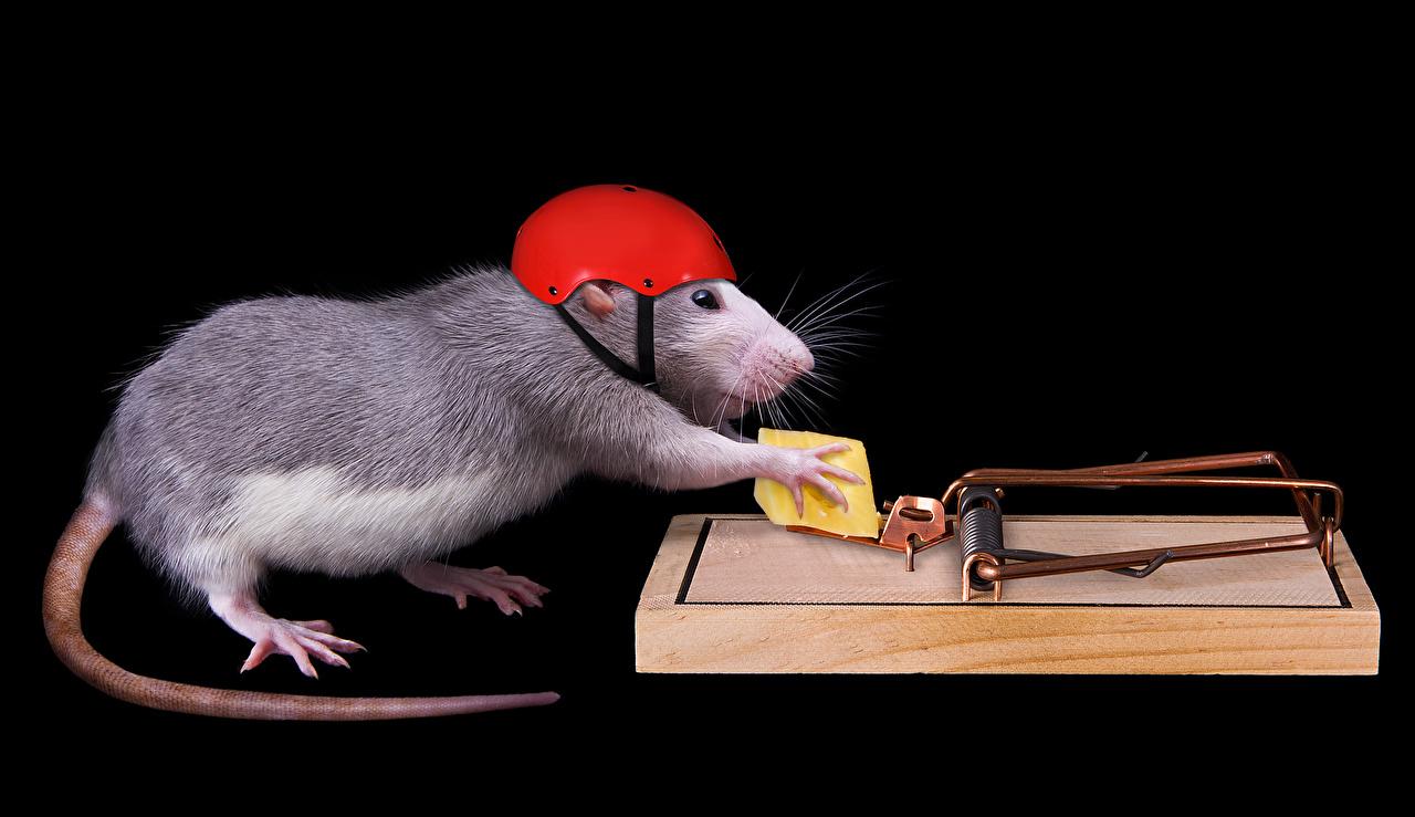 Фотография крыса Шлем Сыры хвоста Креатив Животные на черном фоне Крысы шлема в шлеме Хвост креативные оригинальные животное Черный фон