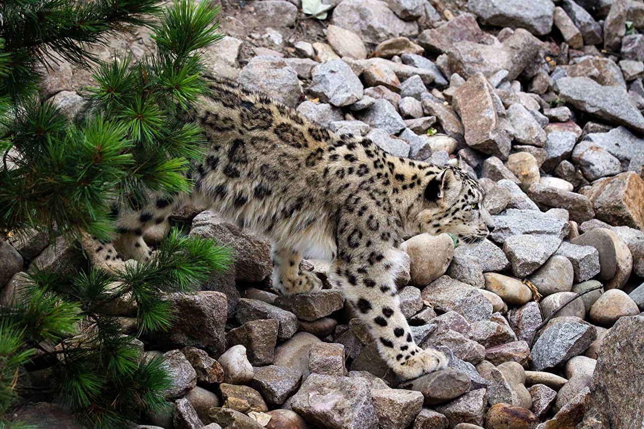 Картинка Ирбис Большие кошки Камни Животные Барсы Камень животное