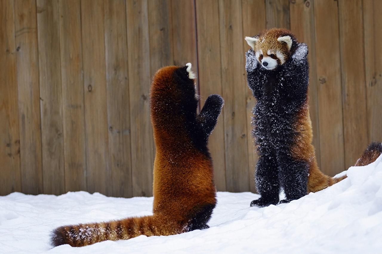 Фотография Панды Малая панда два снегу животное бамбуковый медведь 2 две Двое вдвоем Снег снега снеге Животные