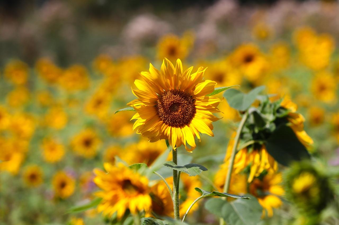 Фотографии боке желтая цветок Подсолнечник Размытый фон Желтый желтые желтых Цветы Подсолнухи