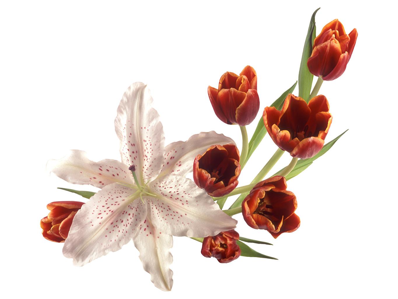 Фотография Лилии Тюльпаны Цветы Белый фон