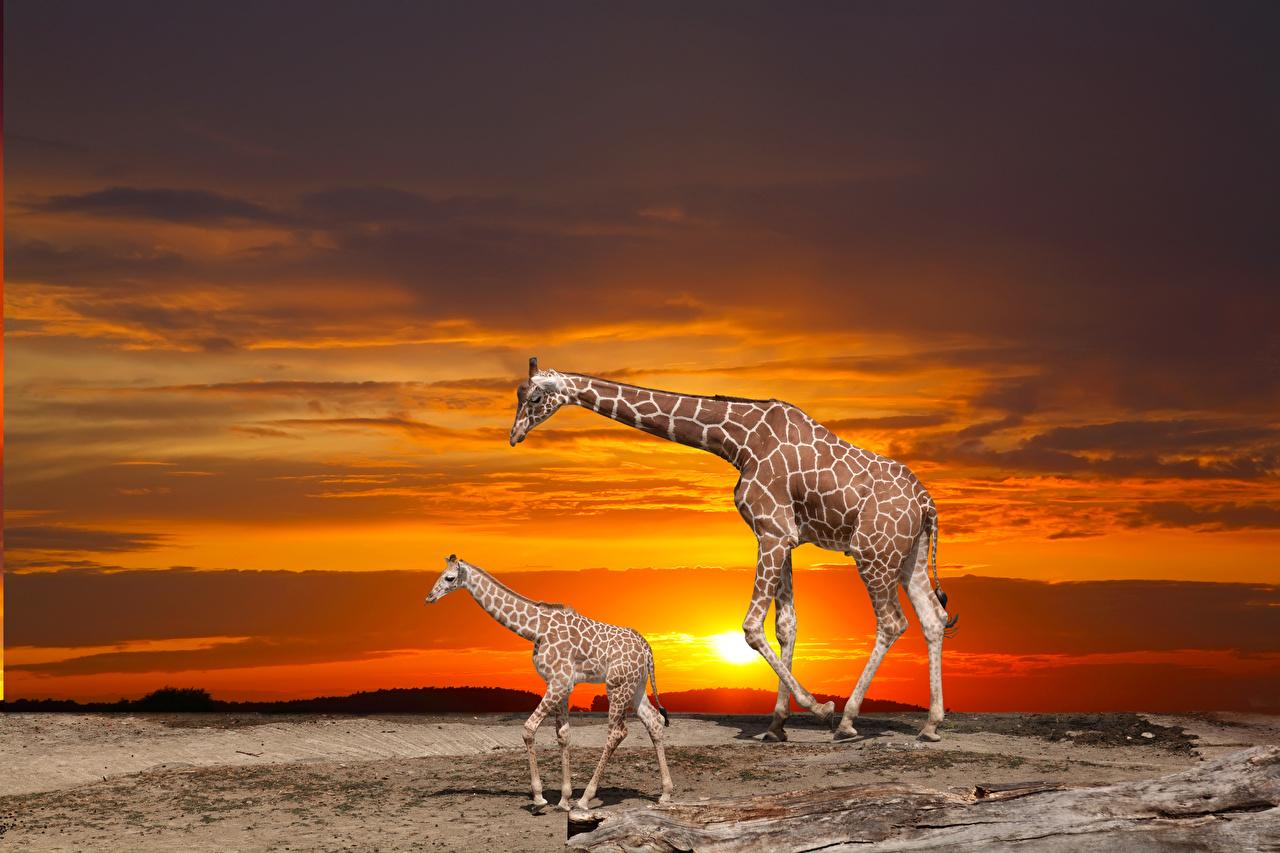 Фотография жираф Детеныши 2 рассвет и закат Животные Жирафы две два Двое вдвоем Рассветы и закаты животное
