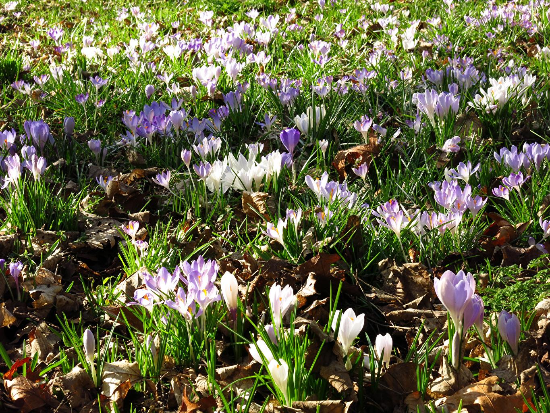 Картинки Цветы Шафран Крокусы