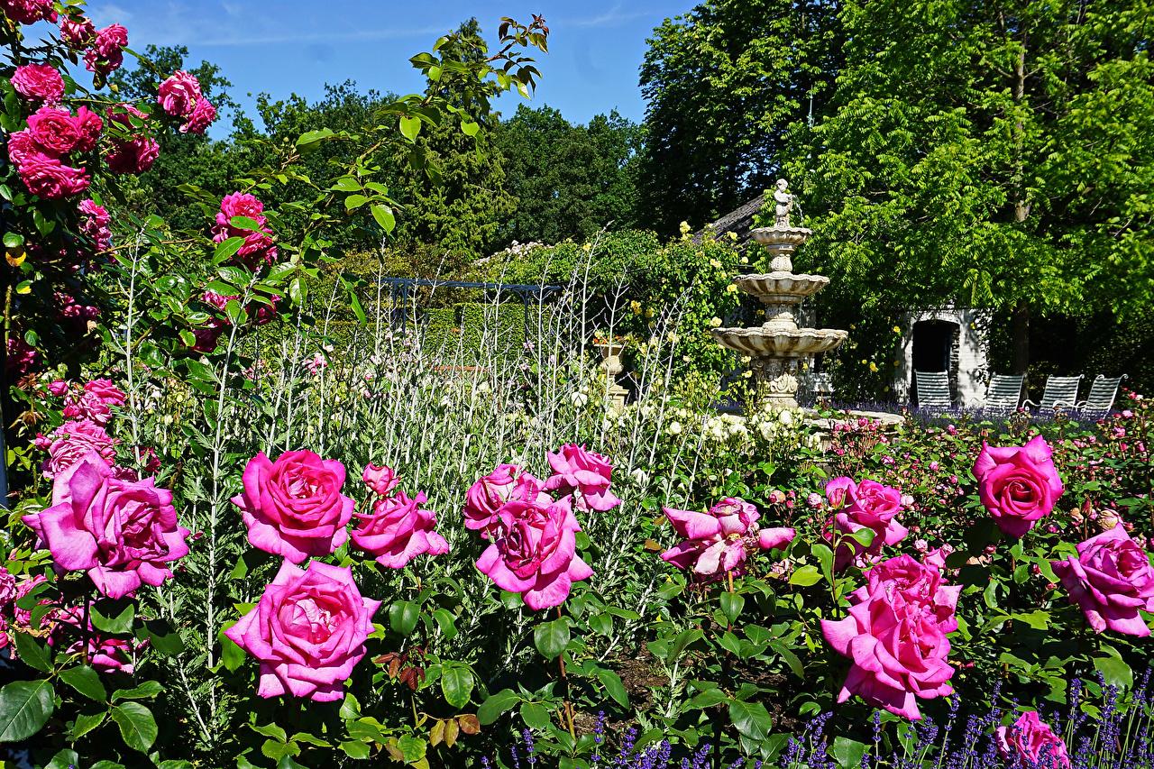 Картинки Нидерланды Arcen Limburg Розы Природа Парки кустов Скульптуры голландия роза парк Кусты скульптура