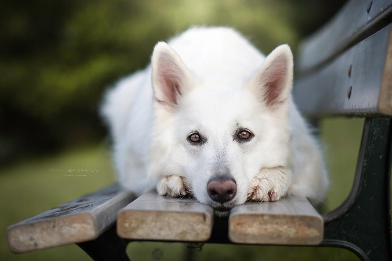 Фотографии овчарки Собаки Berger Blanc Suisse белые морды Скамья смотрят Животные Овчарка собака белых Белый белая Морда Скамейка Взгляд смотрит животное