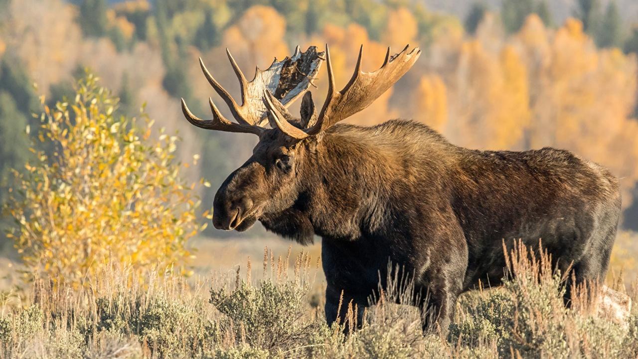 Фотография Лоси Рога Животные с рогами животное