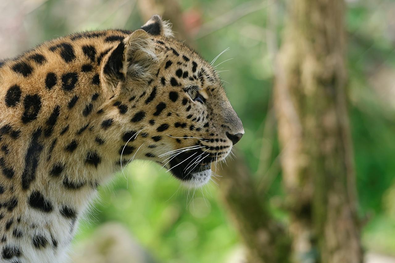 Обои для рабочего стола Леопарды Большие кошки вблизи Животные леопард животное Крупным планом