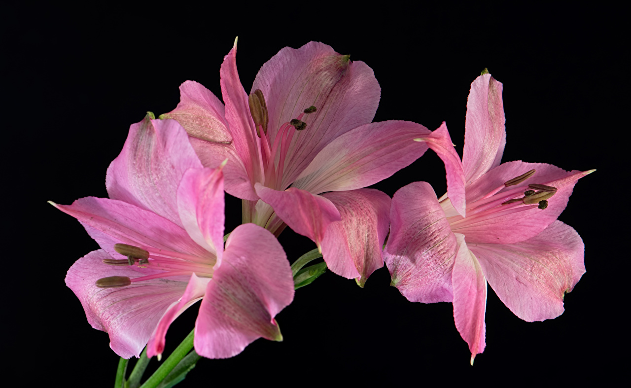 Картинка Розовый Цветы Альстрёмерия вблизи на черном фоне розовая розовые розовых цветок Черный фон Крупным планом