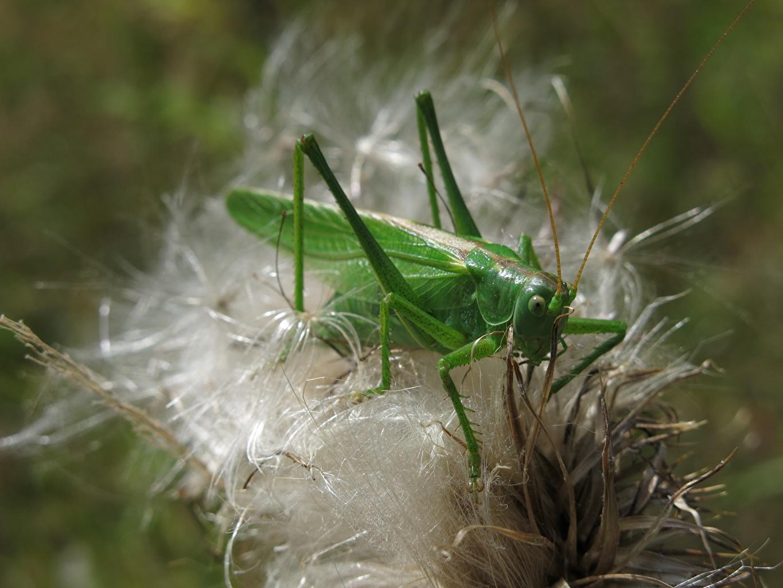 Обои для рабочего стола Кузнечики насекомое Зеленый животное Крупным планом Насекомые зеленая зеленые зеленых вблизи Животные